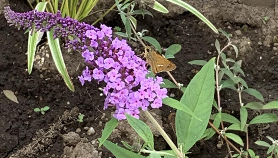 ブッドレアの花を転々とするイチモンジセセリ