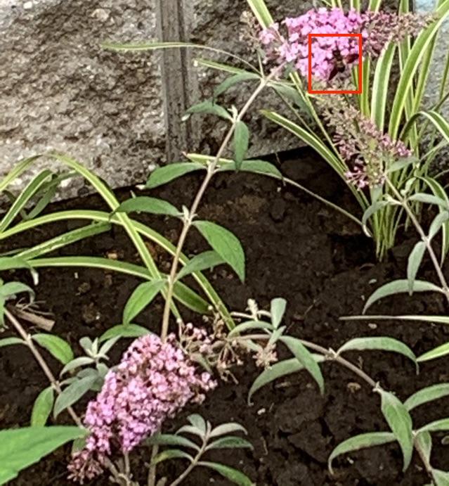 ピンクパールの花に訪れた蜂?