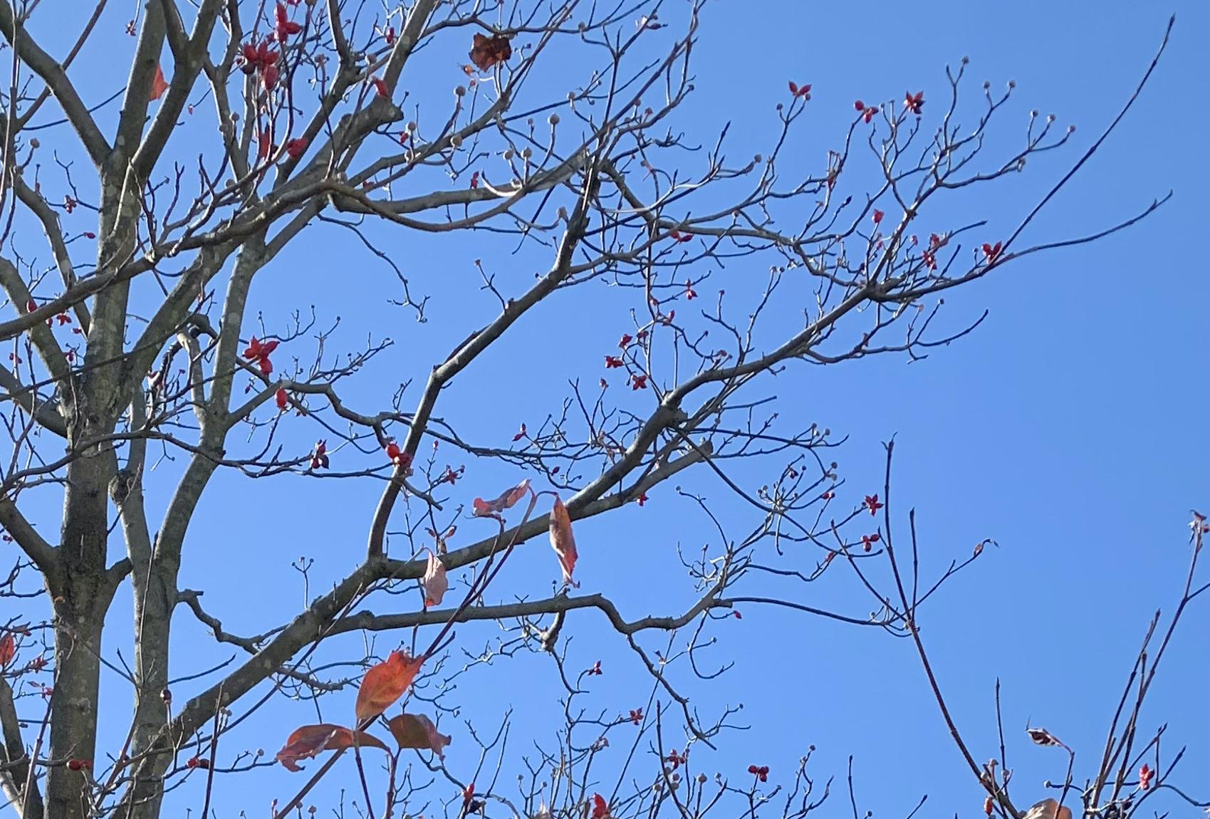 街路樹のハナミズキの実