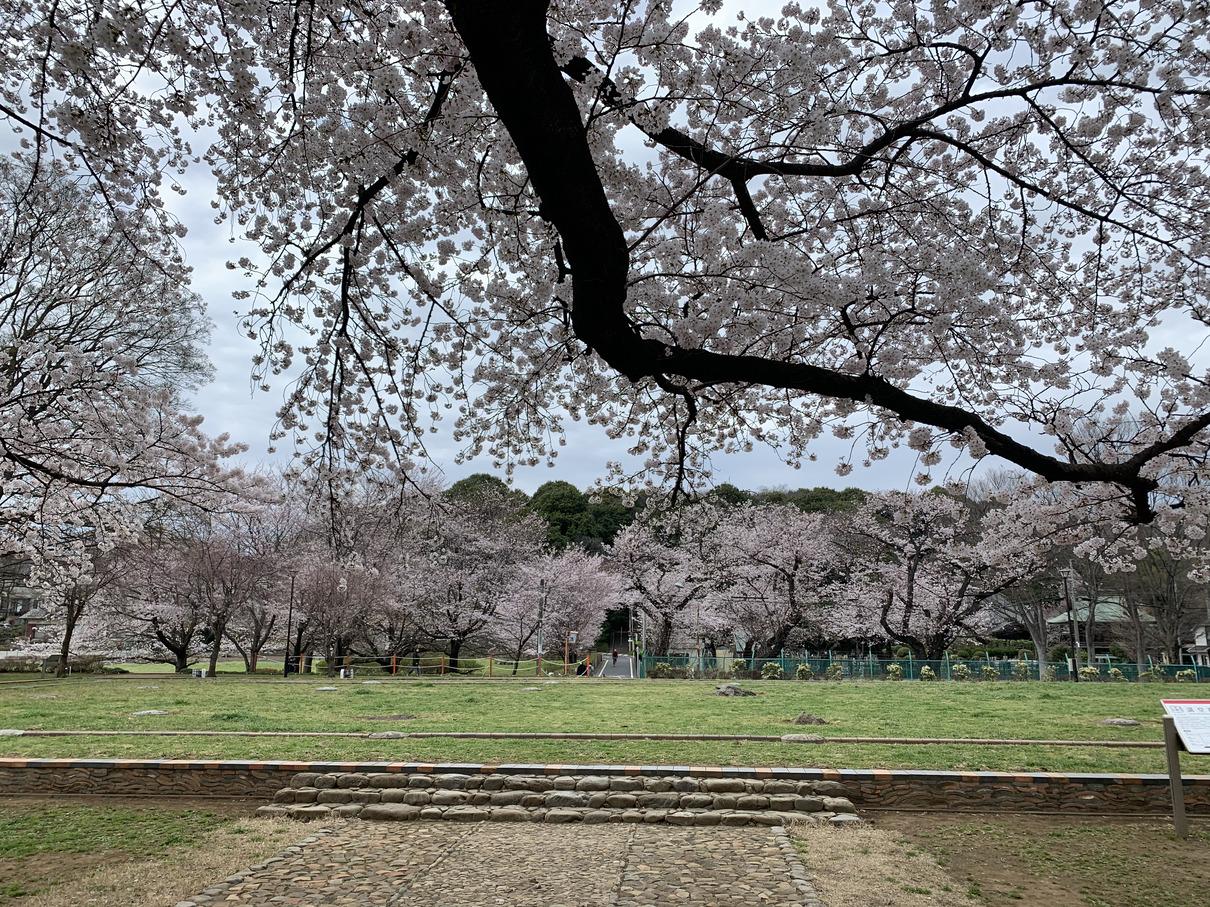 武蔵国分寺跡の桜