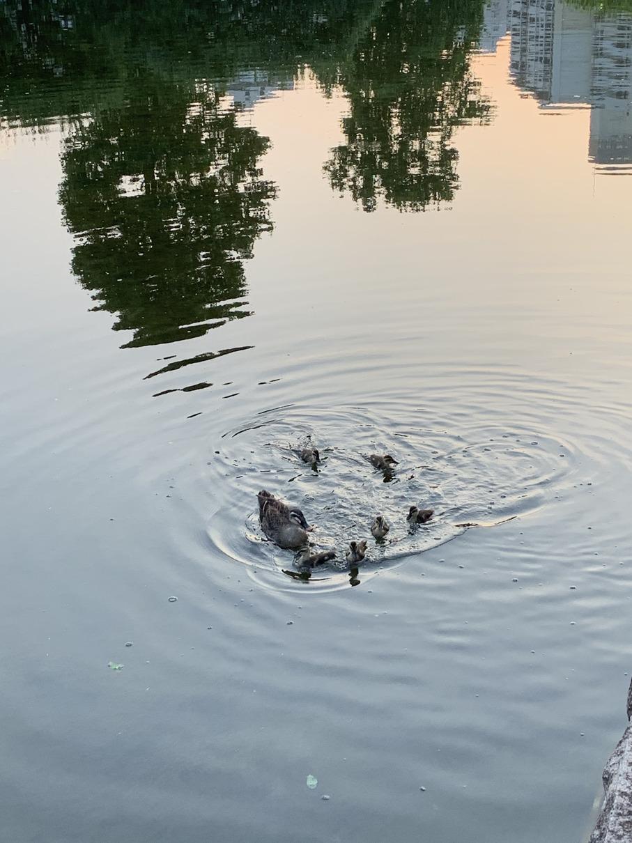 武蔵国分寺公園の池にいるカルガモ親子