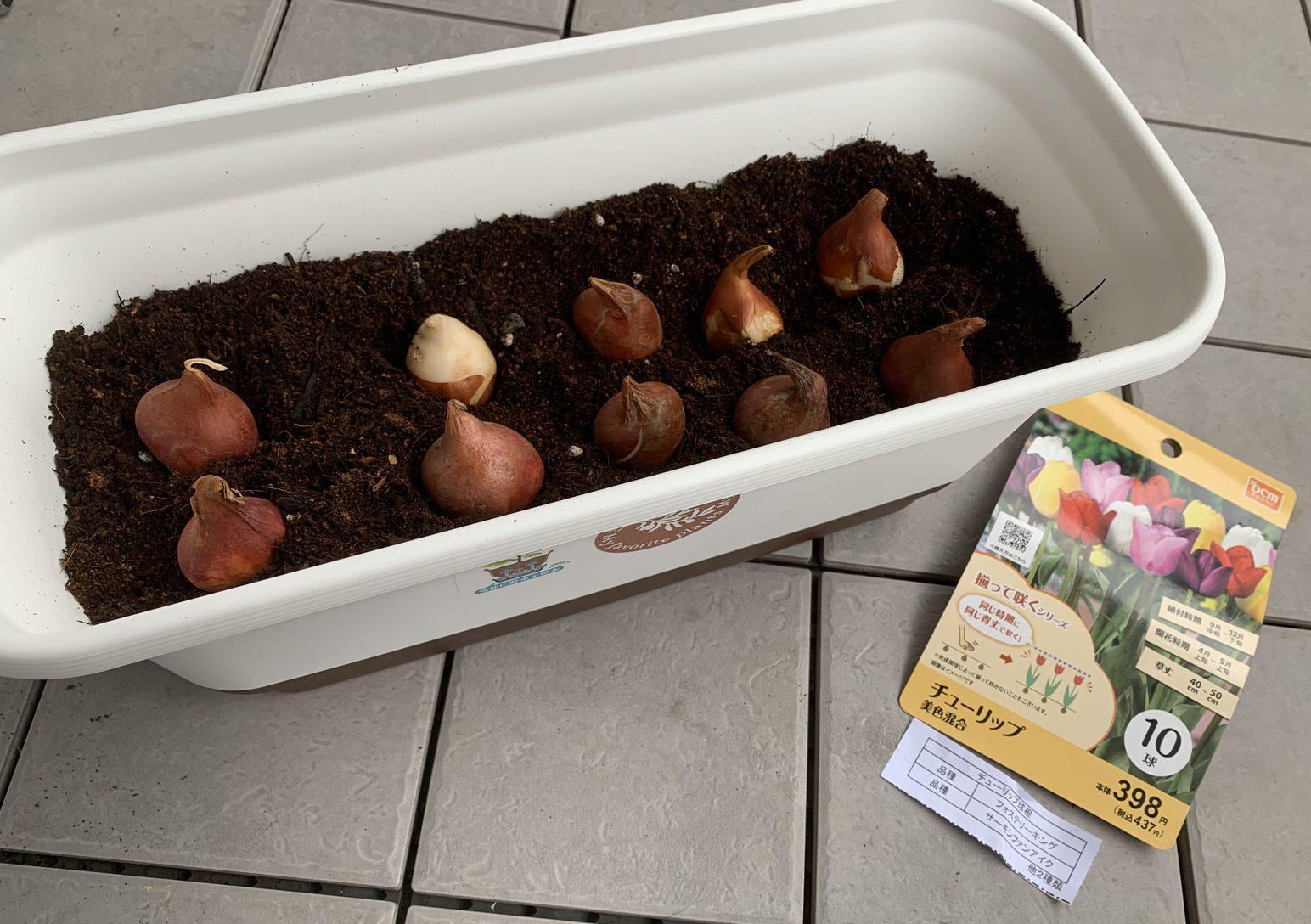 9月末に植え付けたときのチューリップの球根