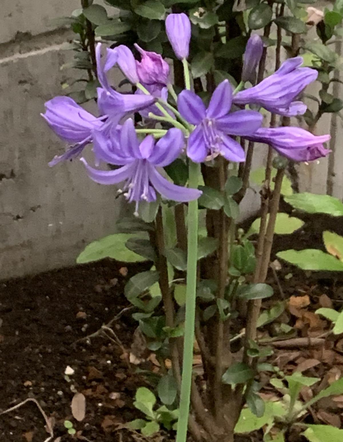 初夏に咲くアガパンサス・ピーターパンの花