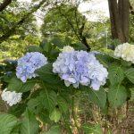 武蔵国分寺公園の鉄道学園記念碑裏に咲くアジサイ