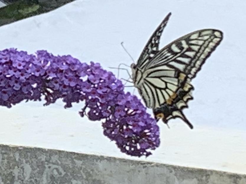 ブッドレア ブルーダイヤモンドを訪れたアゲハチョウ