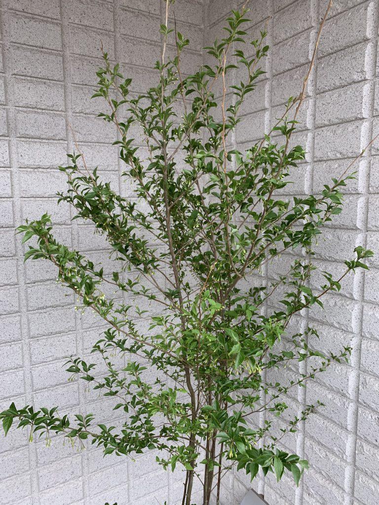 シンボルツリーとして人気のエゴノキ