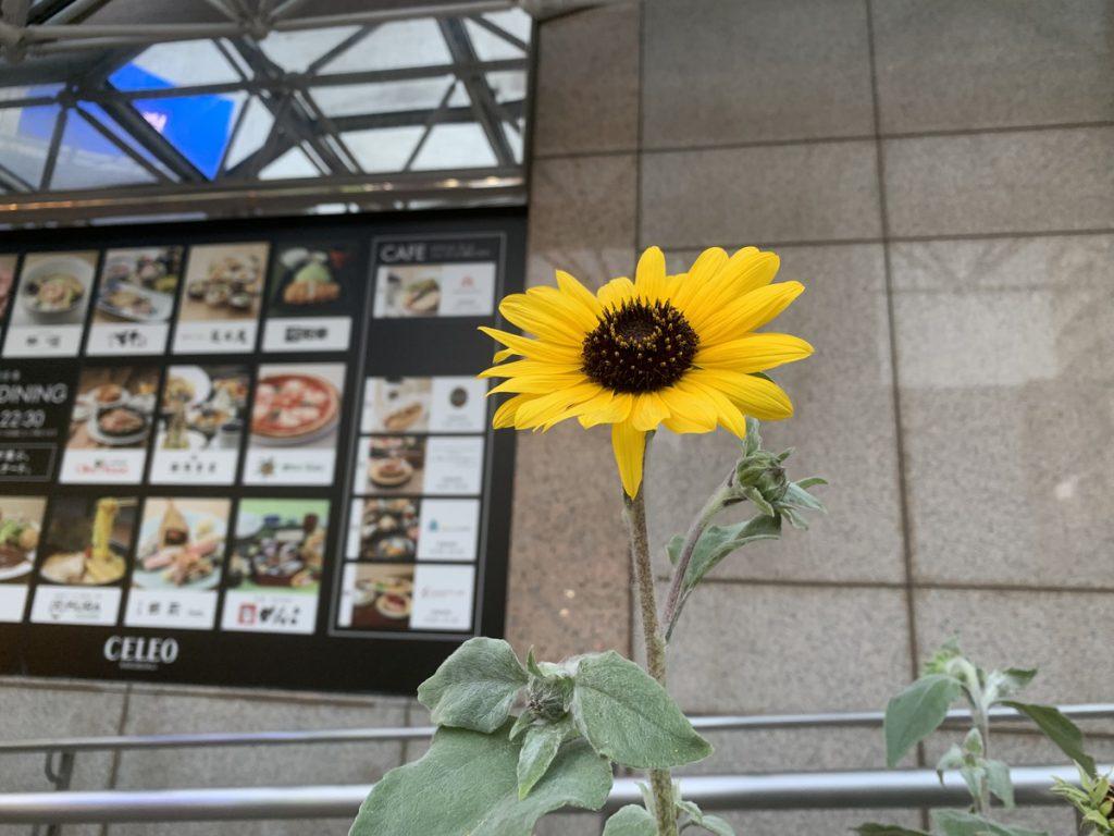 国分寺駅南口に咲くヒマワリ