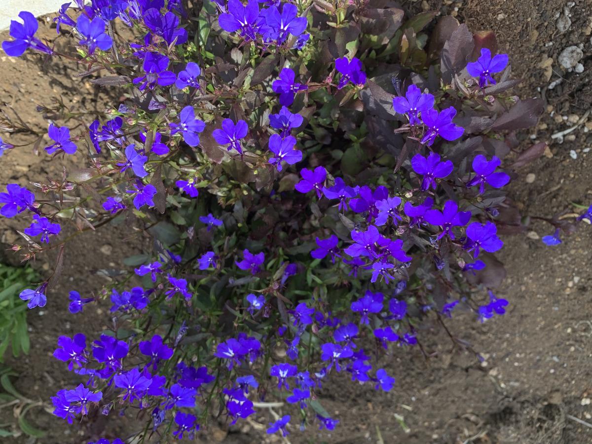 こんもりと茂って花をびっちり付けたロベリア