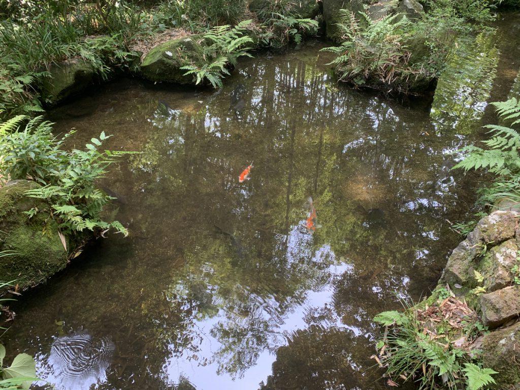 真姿の池に住む鯉