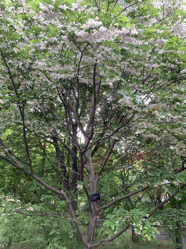 武蔵国分寺公園の武蔵の池横のスロープにあるエゴノキ