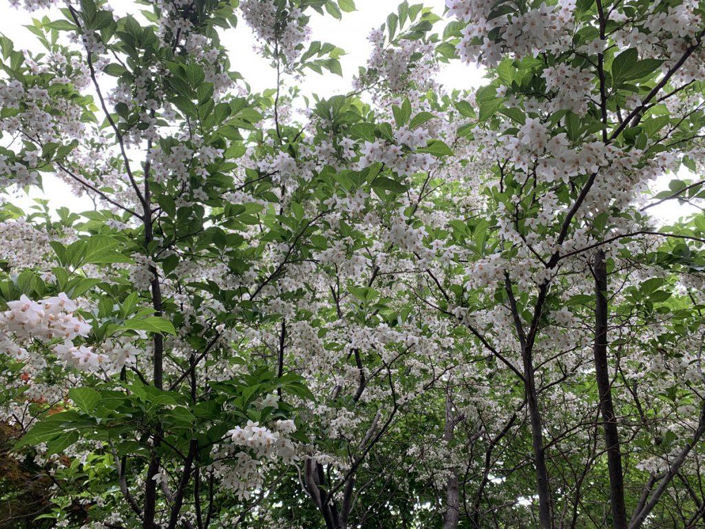 下から見上げると、エゴノキの白い花がこんなにもたくさん
