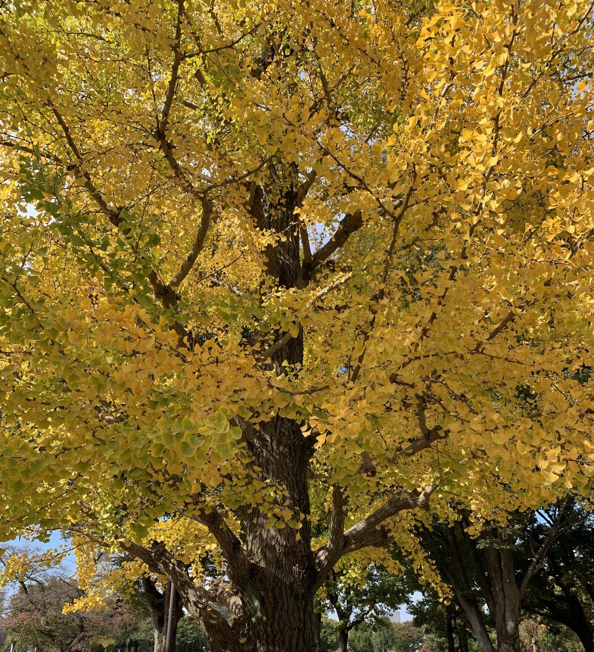 黄色く色づく武蔵国分寺公園のイチョウ