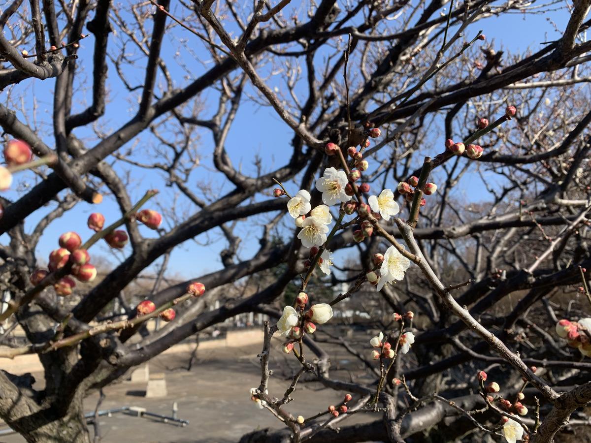武蔵国分寺公園の池前にある白梅は開花し始めています