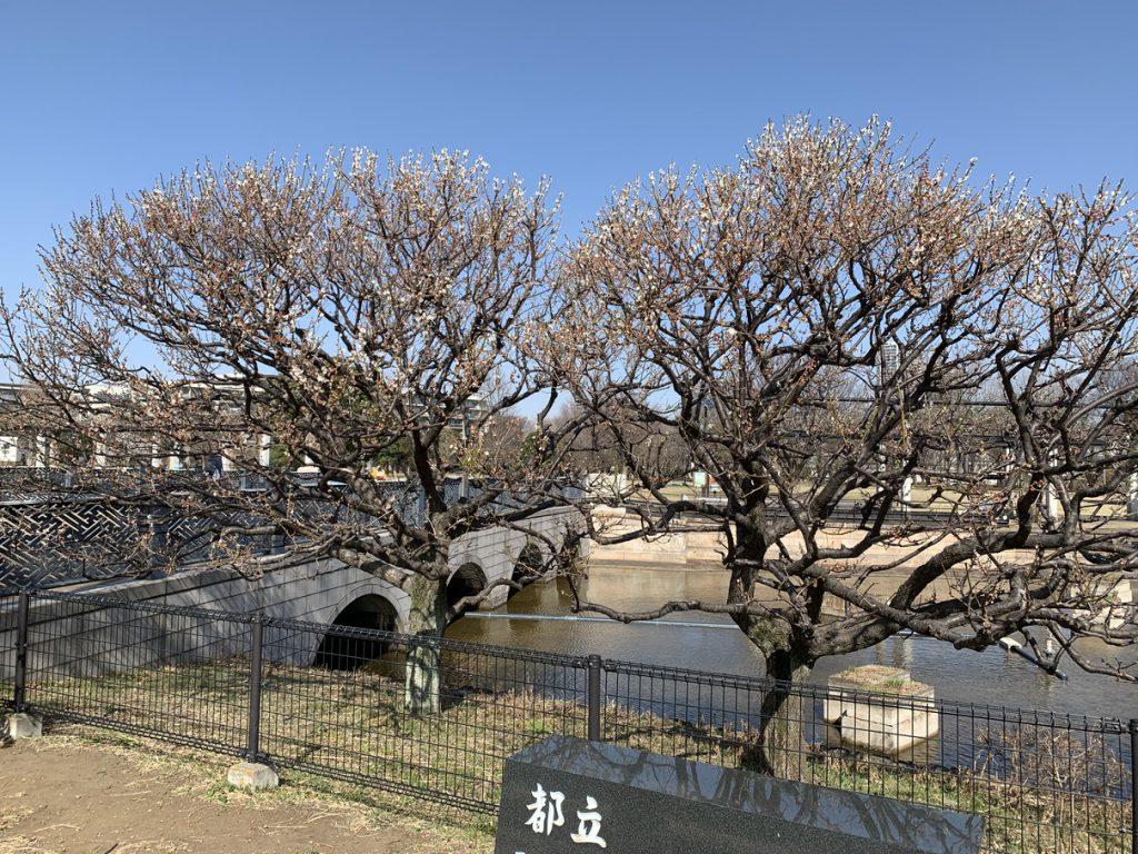 武蔵の池の白梅は散ってきました
