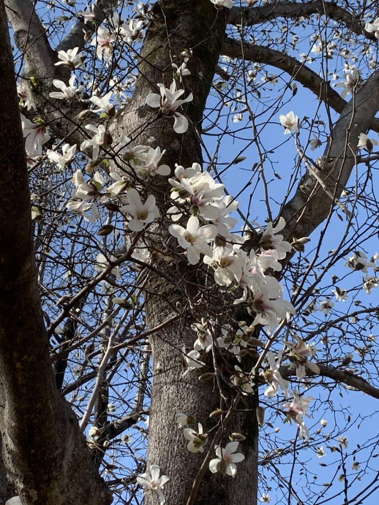武蔵国分寺公園の円形広場に咲くコブシの白い花