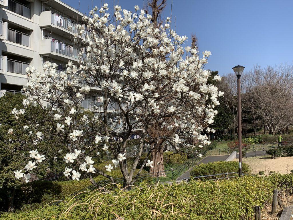 武蔵国分寺公園の泉・北西口近くに咲くハクモクレンの白い花
