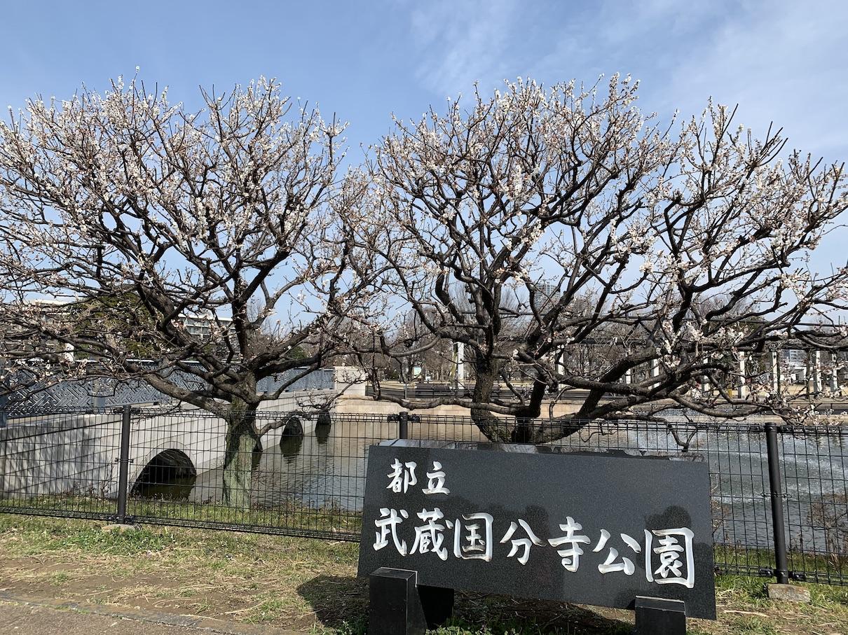 満開になった武蔵国分寺公園の白梅(2020年2月29日)