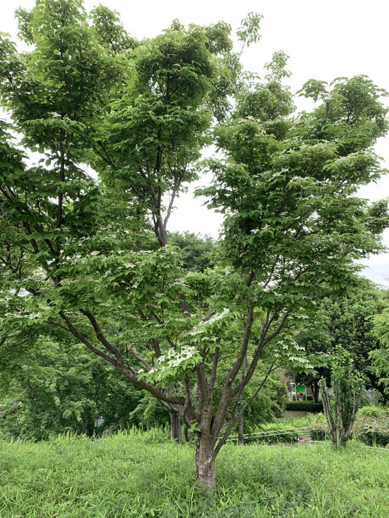 武蔵国分寺公園のこもれび広場近くにあるヤマボウシの木
