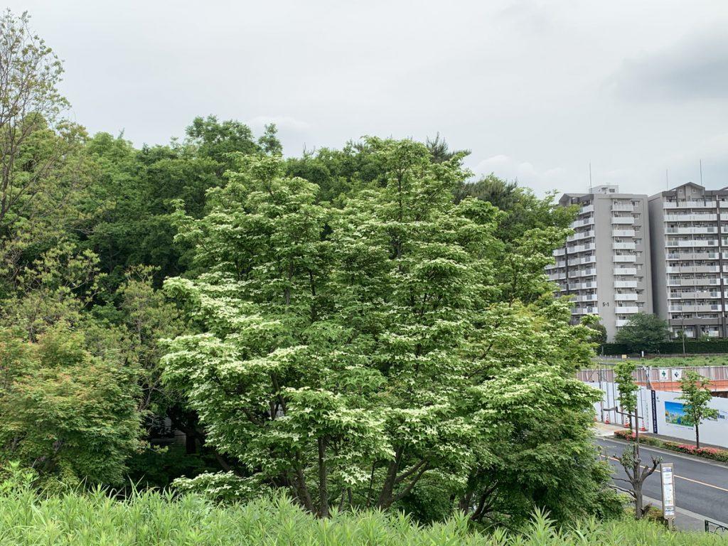 武蔵国分寺公園の西元エリアのヤマボウシ