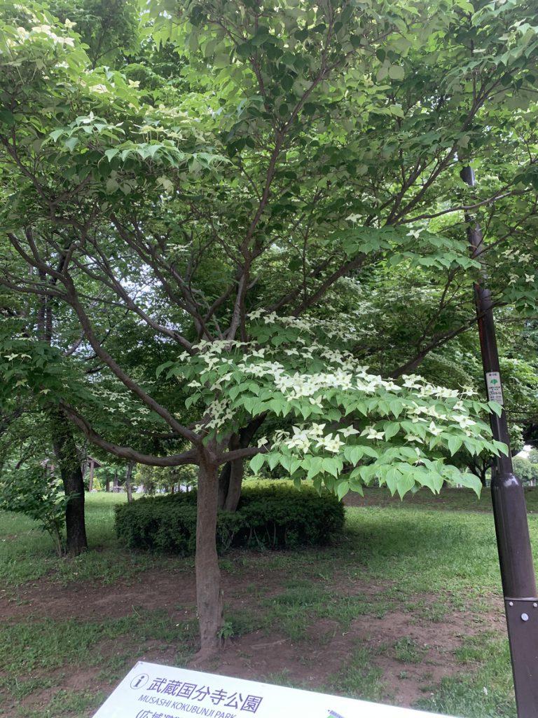 武蔵国分寺公園の泉・北東口に咲くヤマボウシの花
