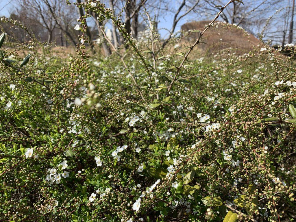 武蔵国分寺公園の西元地区のスロープに咲くユキヤナギの白い花