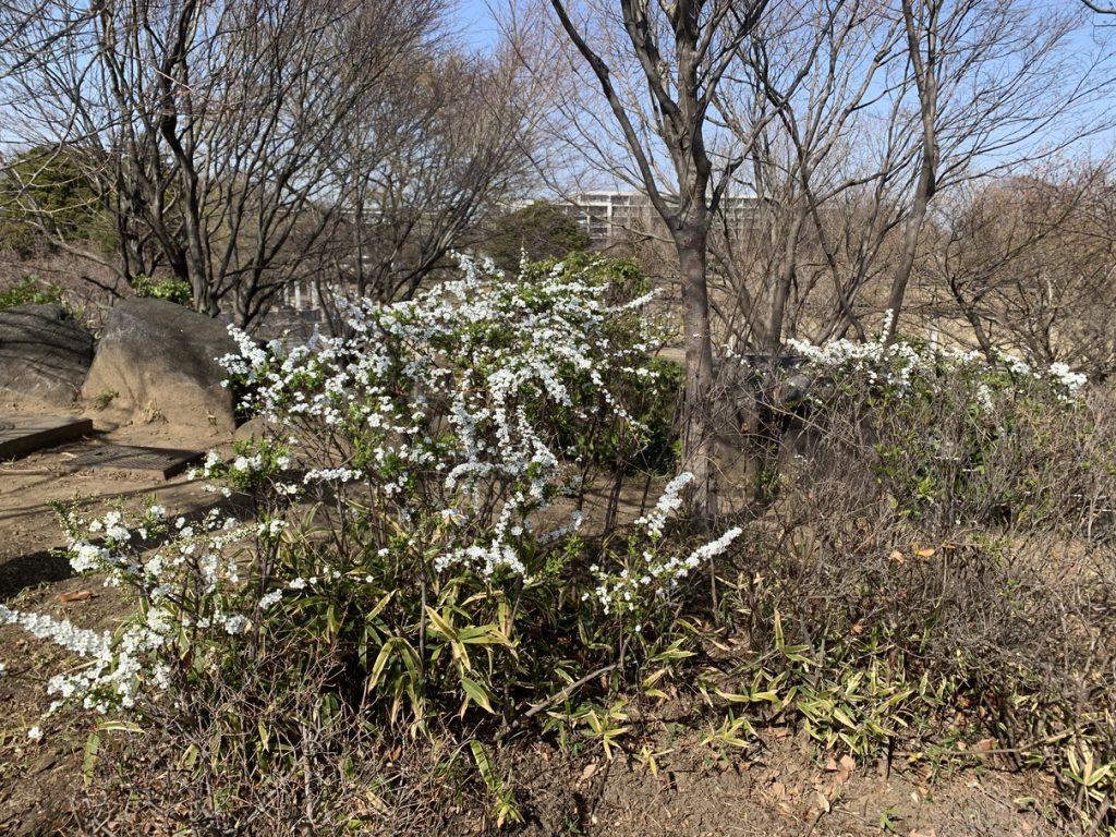 武蔵国分寺公園の武蔵の池横のスロープに咲くユキヤナギの白い花