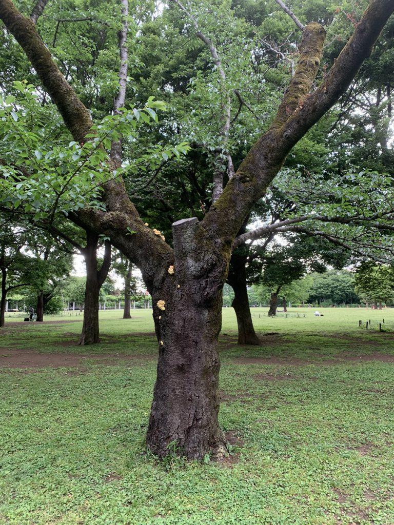 武蔵国分寺公園のオオシマザクラに黄色いものが…