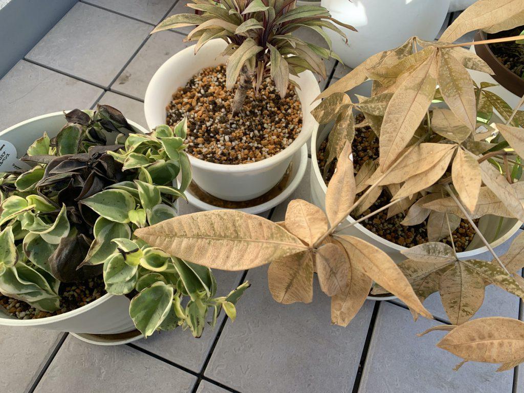 冬枯れした観葉植物。左からペペロミア・セルペンス、パープルコンパクタ、パキラ