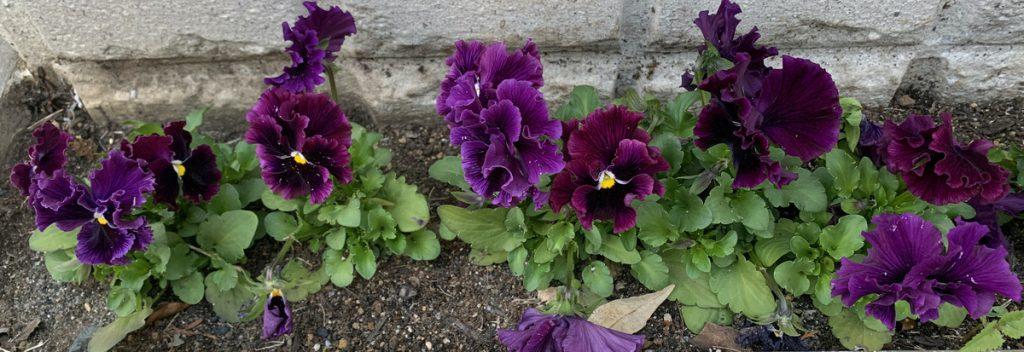 勢揃いしたパンジーF1フリズルシズル バーガンディの花たち
