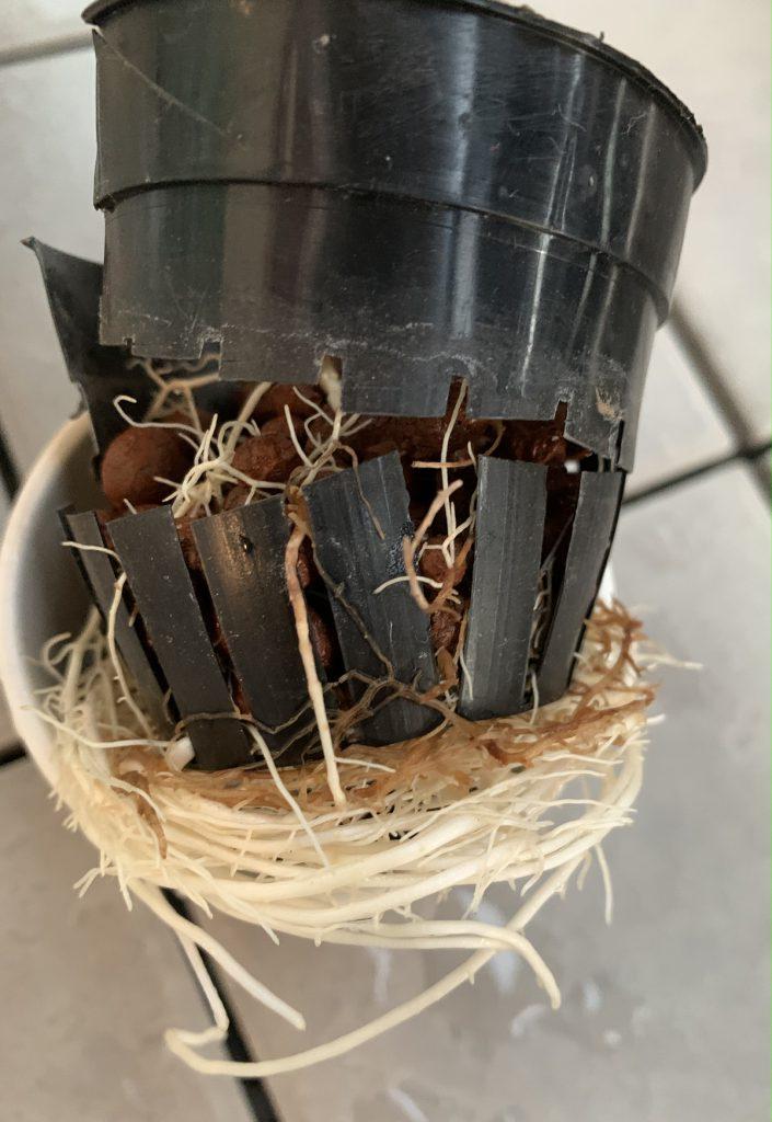 パープルコンパクタの根っこに容器が絡みつく