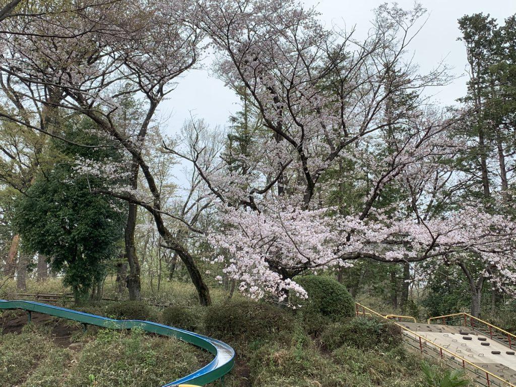 黒鐘公園の名物ローラーコースターと桜