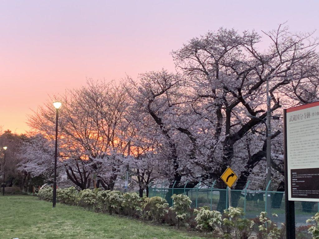 武蔵国分寺跡で見る夕焼けと桜