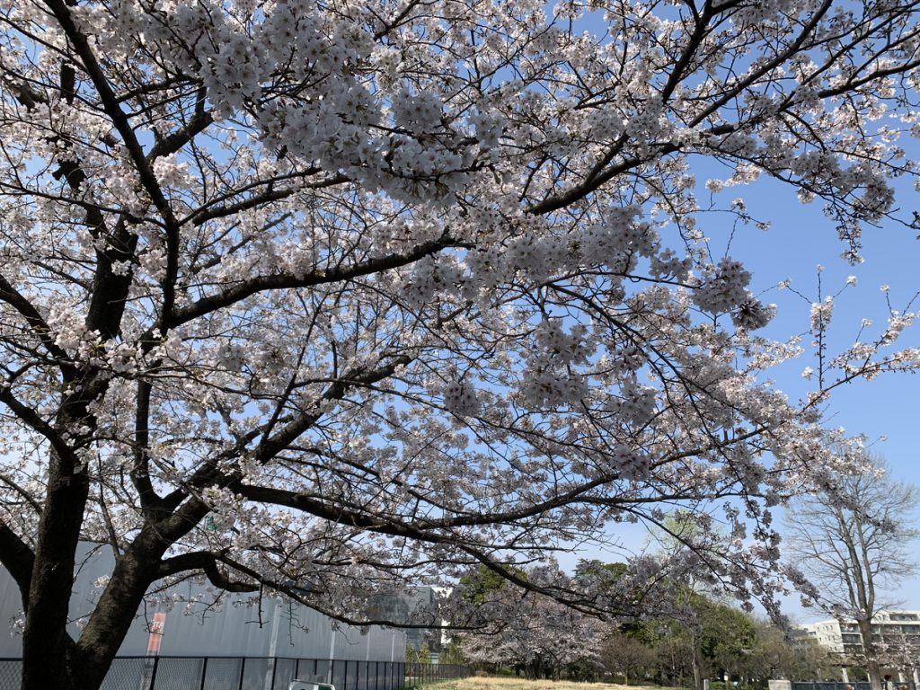 武蔵国分寺公園 泉・南西口付近の桜