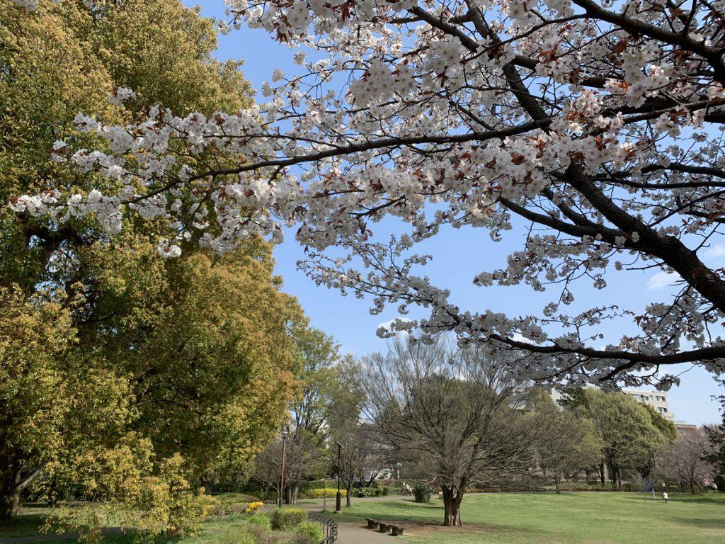 武蔵国分寺公園のこもれび広場に咲く桜