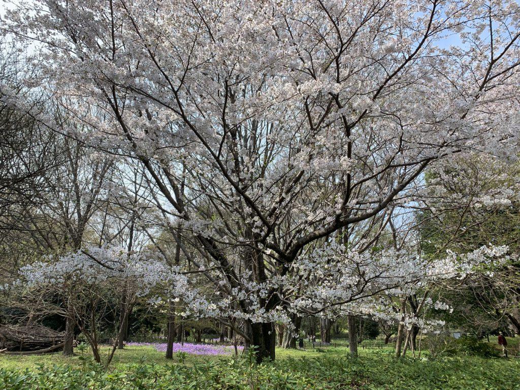 武蔵国分寺公園の「野鳥の森」に咲く桜