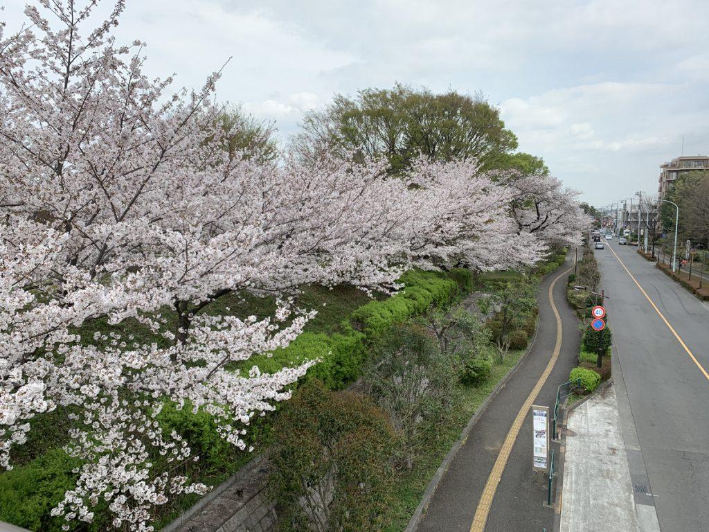 武蔵国分寺公園の多喜窪通り沿いの桜並木