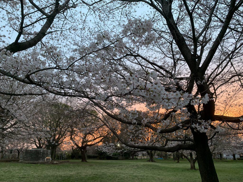 七重塔跡で見る桜と夕焼け