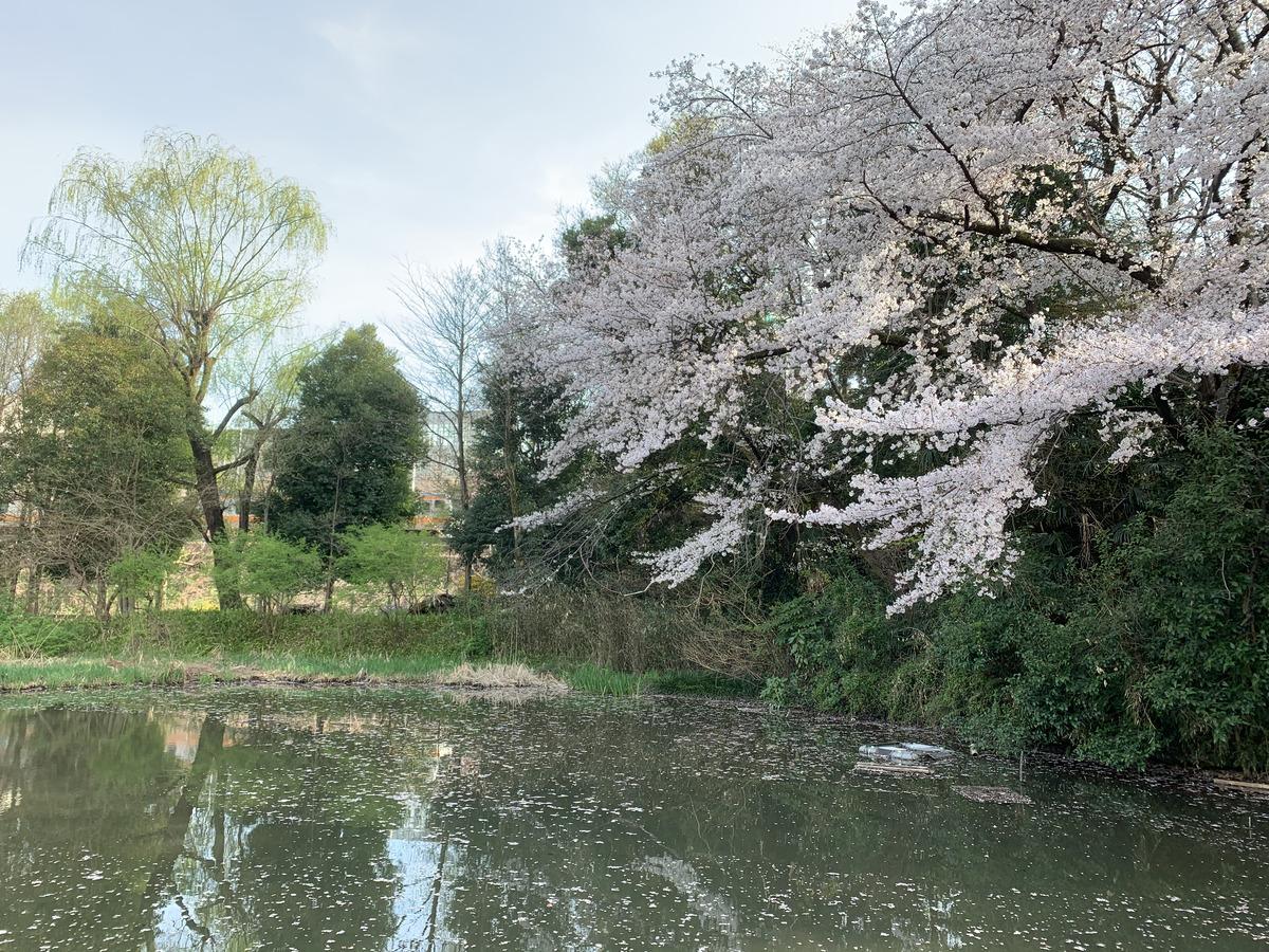 姿見の池の桜 後ろには中央線が走っています