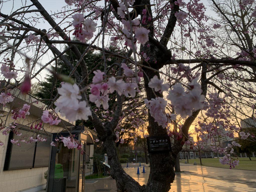 武蔵国分寺公園のサービスセンター横ではシダレザクラも満開です