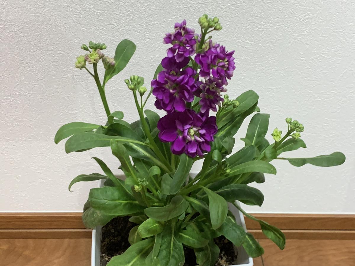 フラワーペコにしこくマインで買ったストックの花